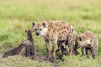 Spotted Hyena or Laughing Hyena (Crocuta crocuta) with cubs, Massai Mara, Serengeti, Rift Valley province, Kenya, Africa