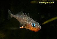 1S12-862z  Male Threespine Stickleback exposing sharp spines,  Mating colors showing bright red belly and blue eyes,  Gasterosteus aculeatus,  Hotel Lake British Columbia