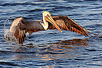 Pelican 3, taking off at Bolsa Chica, CA.