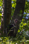 Tom turkey well camouflaged in the dappled light of a northern Wisconsin forest.
