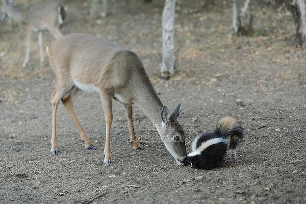 White-tailed Deer (Odocoileus virginianus) Striped Skunk (Mephitis mephitis), feeding, New Braunfels, San Antonio, Hill Country, Central Texas, USA