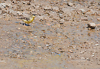 Lesser goldfinch, Carduelis psaltria, drinking from a spring in Wildrose Canyon, Death Valley National Park, California