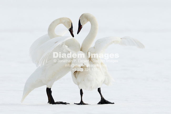 Trumpeter Swan pair in winter - Grantsburg, Wisconsin.