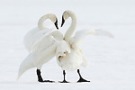 Trumpeter Swan pair in winter - Grantsburg, Wisconsin.