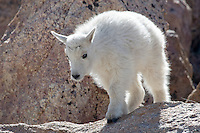 Mountain Goat, Oreamnos americanus, kid, Mount Evans, Colorado