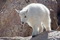 Mountain Goat, Oreamnos americanus, kid, Mount Evans, Colorado