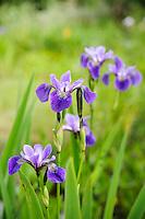 Iris Versicolor 'Rowden Concerto'