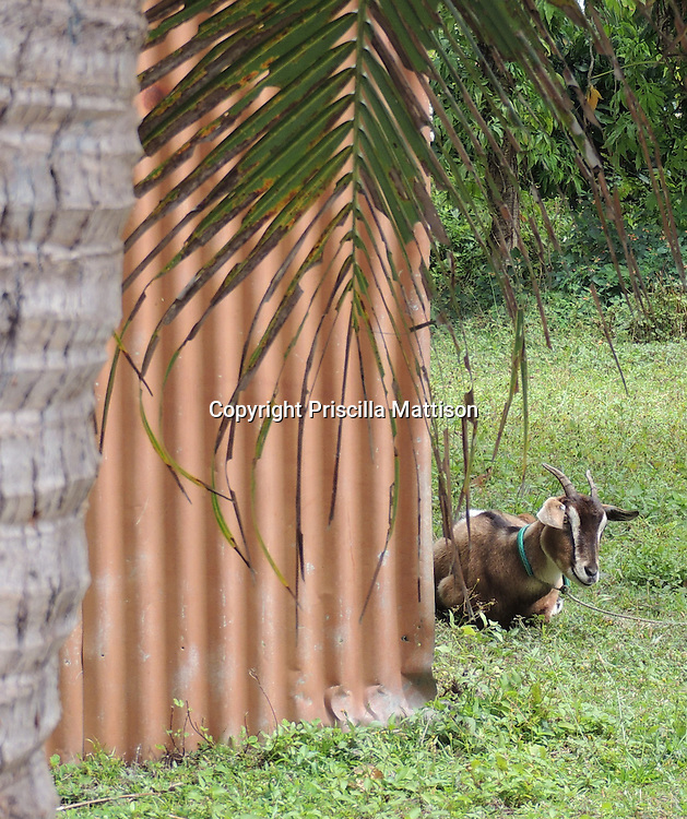 Rarotonga, Cook Islands - September 21, 2012:  A goat sits by a metal shed.