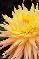 Dahlia 'Golden Impact' cactus type yellow orange apricot