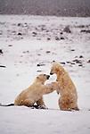 Polar bears, Churchill, Manitoba, Canada