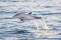 Atlantic spotted dolphin calf, Stenella frontalis, calf, leaping, La Gomera, Canary Islands, Spain, Atlantic Ocean