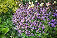 violet flower Geranium cantabrigiense 'Cambridge Blue' in perennial border garden
