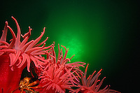 Crimson Anemones ( ),  Orange Decorator Crab,                     British Columbia, Canada