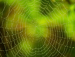 Spider web coated with dew.