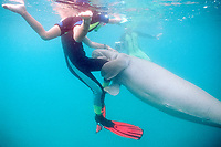 snorkeler & dugong or sea cow, Dugong dugon, Tanna Is., Vanuatu (S. Pacific Ocean)