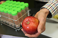 Cosmic Crisp juice is extracted to test the Cosmic Crisp apple, a new variety being developed at the Washington State University Tree Fruit Research and Extension Center, in Wenatchee, WA on April 13, 2018. (Photo by Karen Ducey)