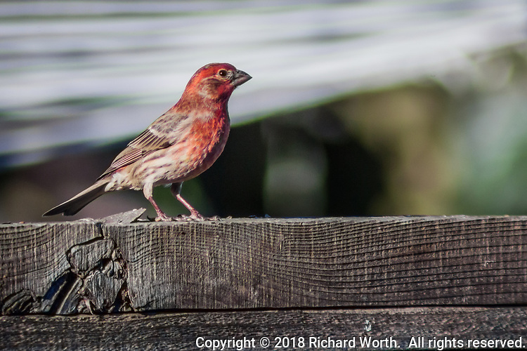A male house finch with red head and breast poses on a backyard fence, a bright example of urban wildlife.