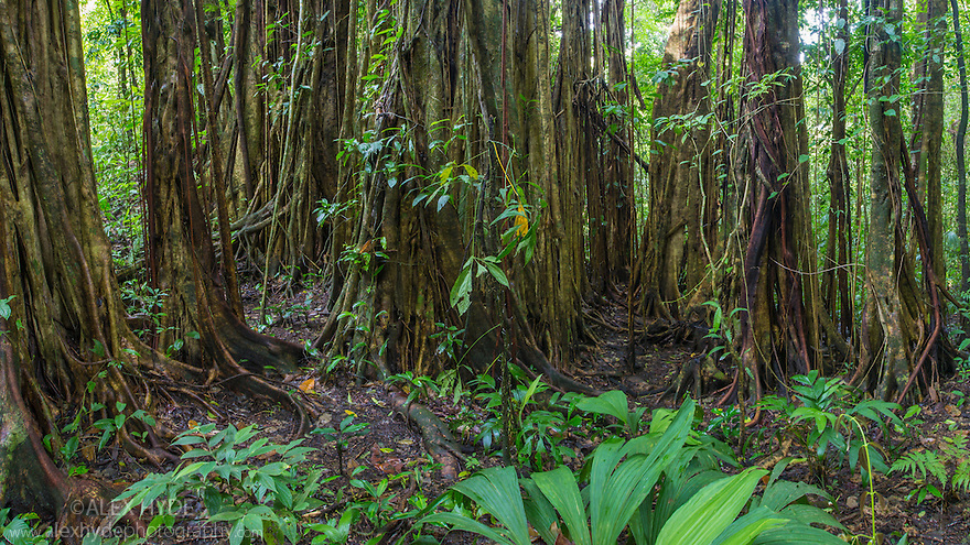 Strangler Fig {Ficus zarazalensis}, a species endemic to the Osa Peninsula, growing in lowland rainforest. Osa Peninsula, Costa Rica.