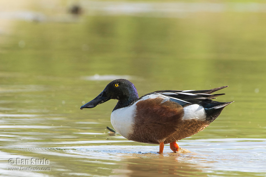 A male Northern Shoveler, Anas clypeata, stands in shallow water in the Riparian Preserve at Water Ranch, Gilbert, Arizona
