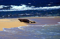 The endangered Hawaiian monk seals, Mother and baby, off the coast of Kauai ,  latin name: monachus schauinslandi