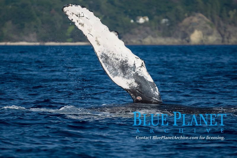 humpback whale, Megaptera novaeangliae, Chichi-jima, Bonin Islands, Ogasawara Islands, Natural World Heritage Site,  Tokyo, Japan, Pacific Ocean