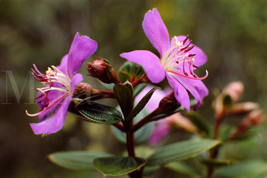 Tibouchina huberi (Melastomataceae), a shrub in Dwarf Montane Forest (Elfin Forest) endemic to Sierra de Maigualida, in Guyana Highlands, Venezuela.
