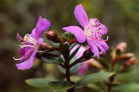 Tibouchina huberi (Melastomataceae), a shrub in Dwarf Montane Forest (Elfin Forest) endemic to Sierra de Maigualida, in Guyana Highlands, Venezuela.
