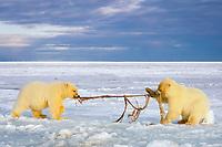polar bear, Ursus maritimus, cubs playing tug-o-war with whale meat, 1002 coastal plain of the Arctic National Wildlife Refuge, Alaska, polar bear, Ursus maritimus