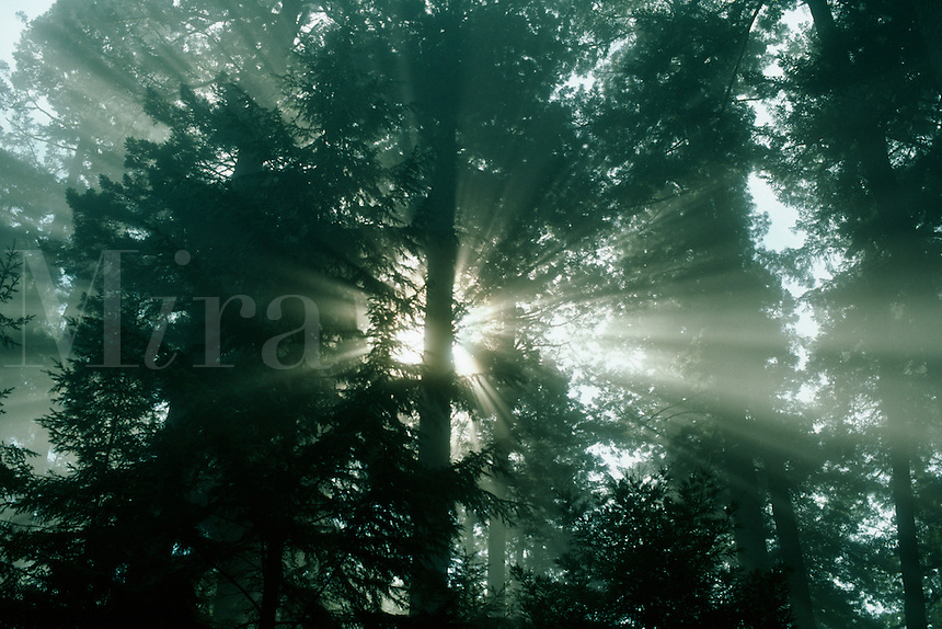 Sun rays through forest trees.