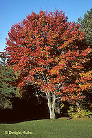 TT12-023a  Sugar Maple - autumn foliage - Acer saccharum