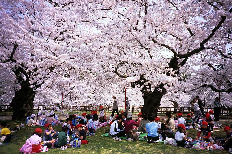 School children enjoy picnic under the cherry blossom, hanami, at the park of Hirosaki castle, Aomori.<br /> <br /> Des écoliers profitent d'un pique-nique sous la fleur de cerisier, hanami, dans le parc du château de Hirosaki, à Aomori.