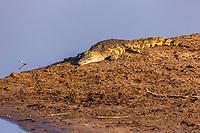 africa, Zambia, South Luangwa National Park, Crocodiles rest in south Luwanga river