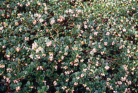 Arctostaphylos uva-ursi 'Point Reyes' (Bearberry Manzanita)