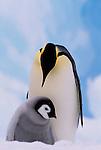 Emperor penguin and chick, Antarctica