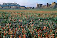 Nelson's globemallow and Swap Mesa<br /> Notom-Bullfrog Road<br /> Bureau of Land Management<br /> Colorado Plateau,  Utah