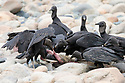 Black Vultures (Coragyps atratus) scavenging on the carcass of a Bush Dog (Speothos venaticus) on the banks of the Manu River, Manu Biosphere Reserve, Amazonia, Peru. November.