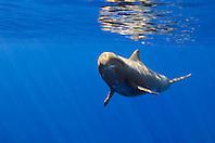 pygmy killer whale, Feressa attenuata, off Kona Coast, Big Island, Hawaii, Pacific Ocean..