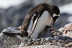 Gentoo penguin on its nest with its chicks on Port Lockroy, Antarctica.