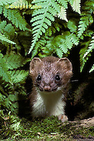 MA28-032z  Short-Tailed Weasel - ermine in forest in brown summer coat - Mustela erminea