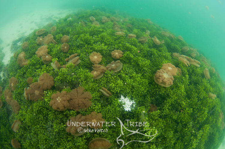 Stingless jellyfish in the water column and on the bottom, Mastigias sp., Jellyfish Lake, Kakaban Island, Berau, Kalimantan, Borneo, Indonesia, Pacific Ocean