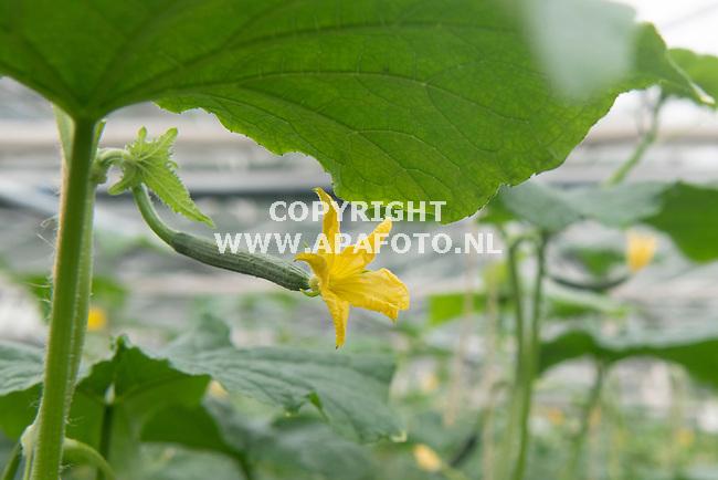 't Loo 060821 - Foto Ruben Meijerink / APA FOTO<br /> Maatschap Wilting-Arentz, een groente- en fruitkwekerij in Loo. <br /> Komkommer plant/bloesem
