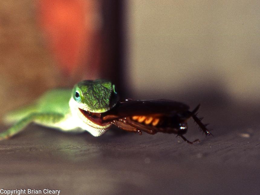 A green anole eats a palmetto bug, Daytona Beach, FL . (Photo by Brian Cleary / www.bcpix.com)