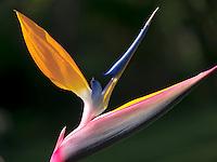 Close up of Bird of Paradise flower. St. John. Virgin Islands.