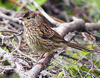 Song sparrow adult