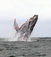 URAMBA BAHIA MALAGA - COLOMBIA 16-07-2013: Ballenas Jorobadas (Megaptera Novaeangliae) llegan a las costas colombianas en el Oceano Pacifico julio 16 de 2013. En un recorrido de casi 8000 kilometros desde el sur del continente cada año entre los meses de julio y noviembre cientos de ballenas Jorobadas o Yubartas llegan a las calidas aguas del Pacifico para aparearse y tener sus crias, Juanchaco, Ladrilleros, La Isla Gorgona y Bahia Malaga, se convierten en una gigante sala cuna. (Foto: VizzorImage / Juan C. Quintero / Str.) Humpback Whales (Megaptera Novaeangliae) come to the Colombian coast in the Pacific Ocean July 16, 2013. At a distance of almost 8000 kilometers from the south of the continent every year between July and November hundred Humpbacks whales arrive in the warm Pacific waters to mate and have their young, Juanchaco, Ladrilleros, Gorgona Island and Bahia Malaga, become a giant nursery. (Photo: VizzorImage / Juan C. Quintero / Str)