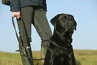 Male Labrador on lead, sitting.