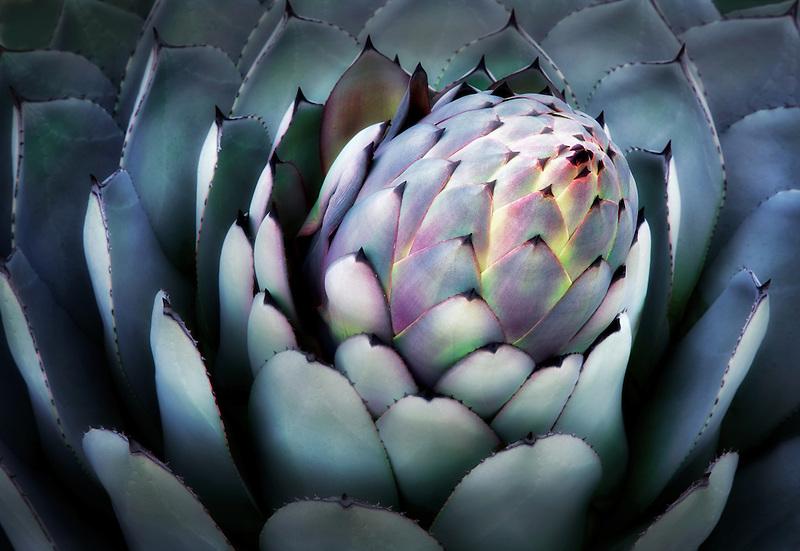 Aloe plant close up. Big Sur coast, California