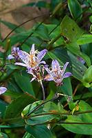 Tricyrtis ravenii in autumn flower