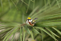 Chestnut-sided Warbler (Dendroica pensylvanica), adult female, South Padre Island, Texas, USA