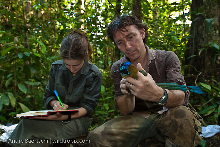 Oxford University ornithologists Dr Joseph Tobias and Dr Nathalie Seddon taking data of Blue-crowned Motmot (Momotus momota) in lowland tropical rainforest, Rio Amigos Conservation Concession, Madre de Dios, Peru.